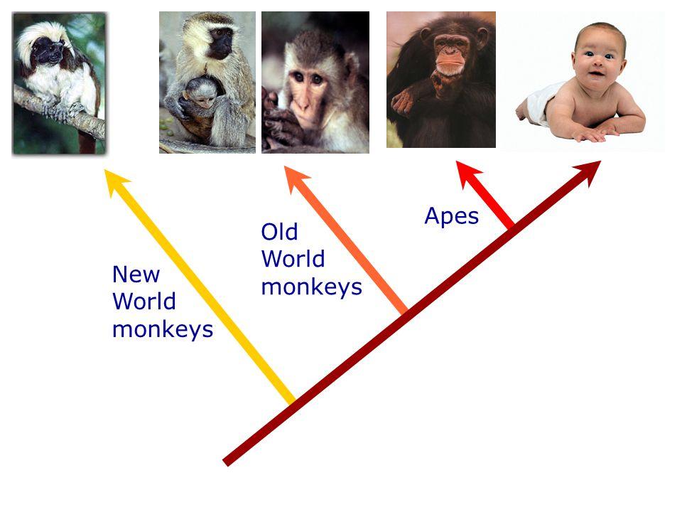 New World monkeys Old World monkeys Apes