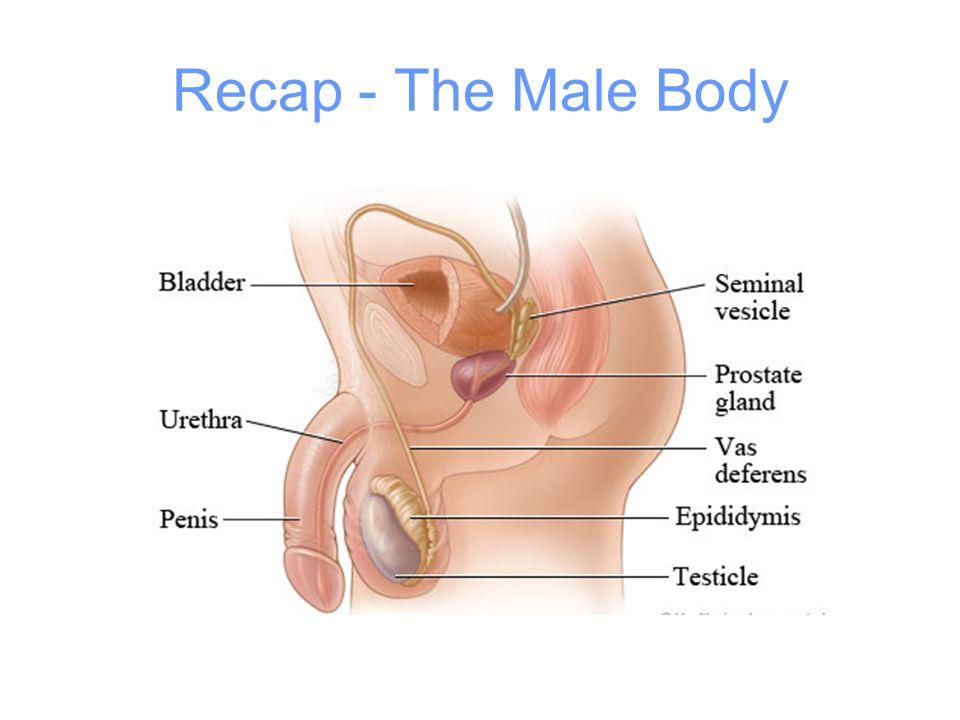 Recap - The Male Body