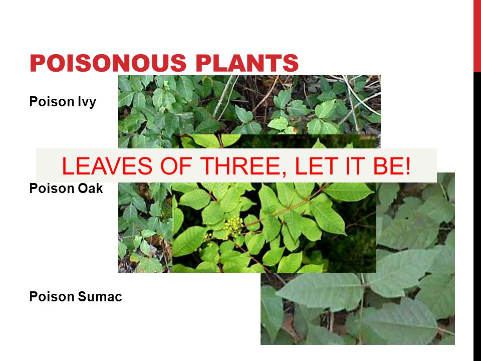POISONOUS PLANTS Poison Ivy Poison Oak Poison Sumac LEAVES OF THREE, LET IT BE!