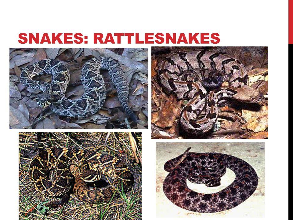 SNAKES: RATTLESNAKES