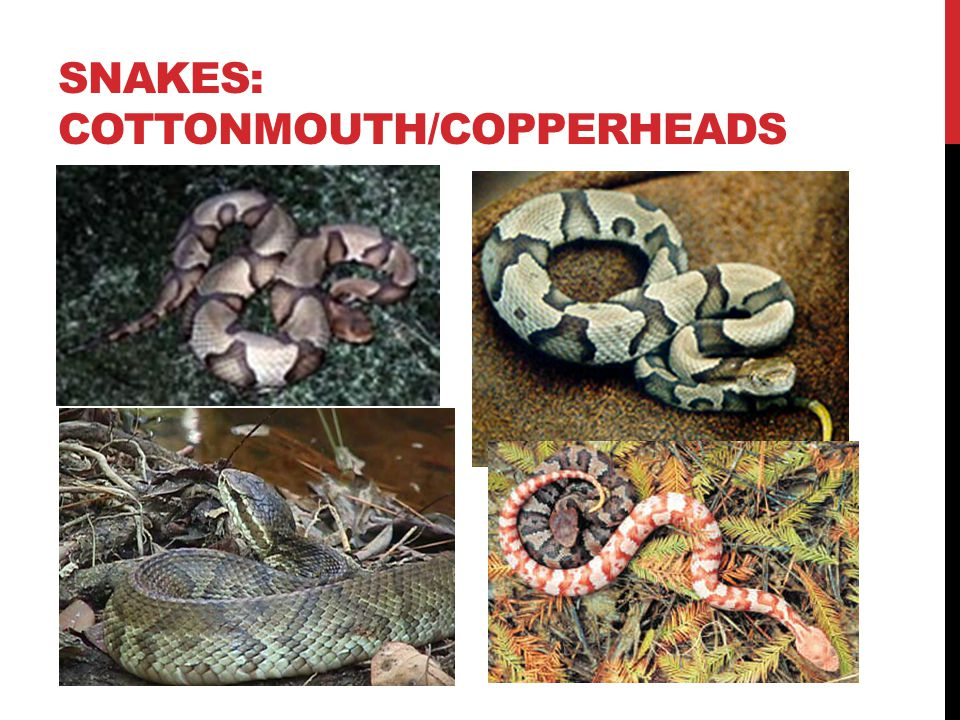 SNAKES: COTTONMOUTH/COPPERHEADS