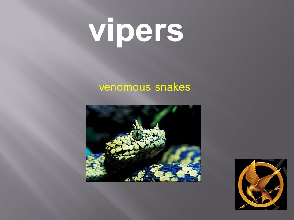 vipers venomous snakes