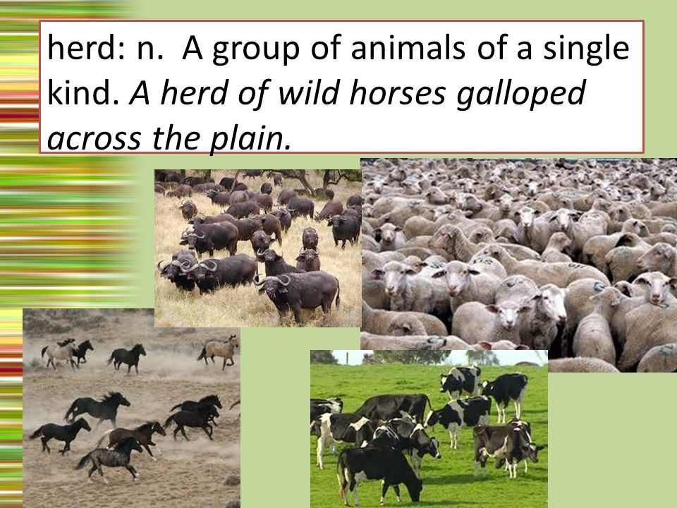 herd: n. A group of animals of a single kind. A herd of wild horses galloped across the plain.