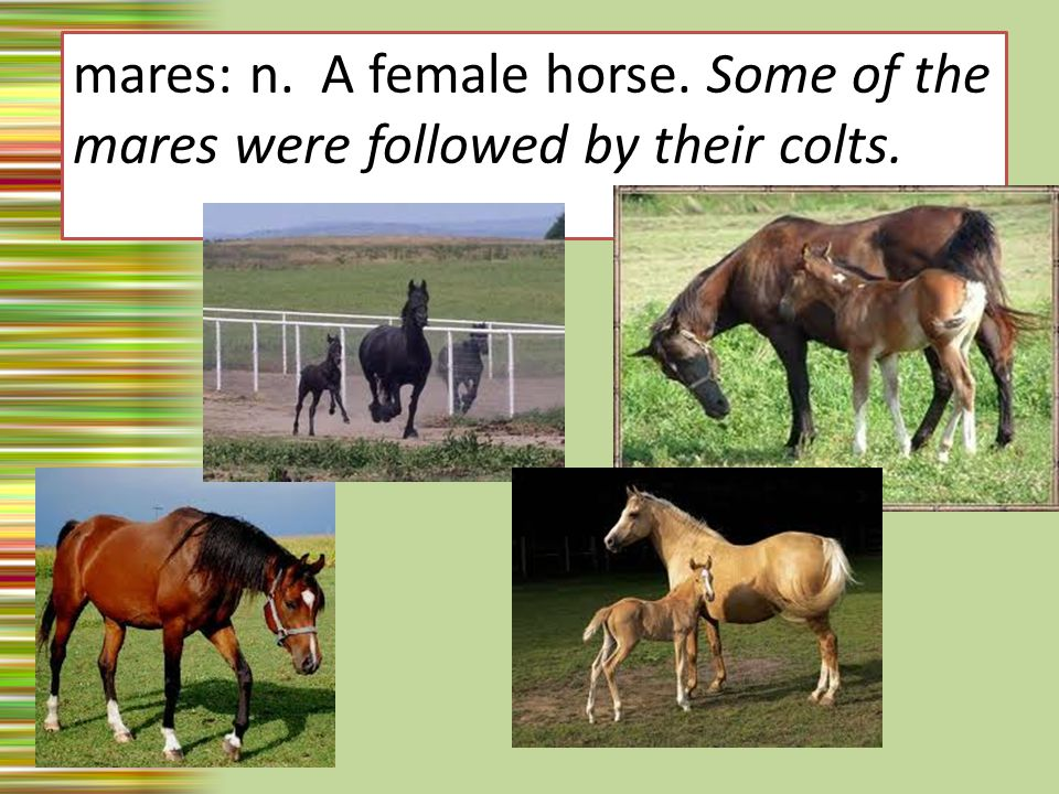 mares: n. A female horse. Some of the mares were followed by their colts.