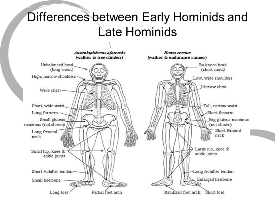 Differences between Early Hominids and Late Hominids