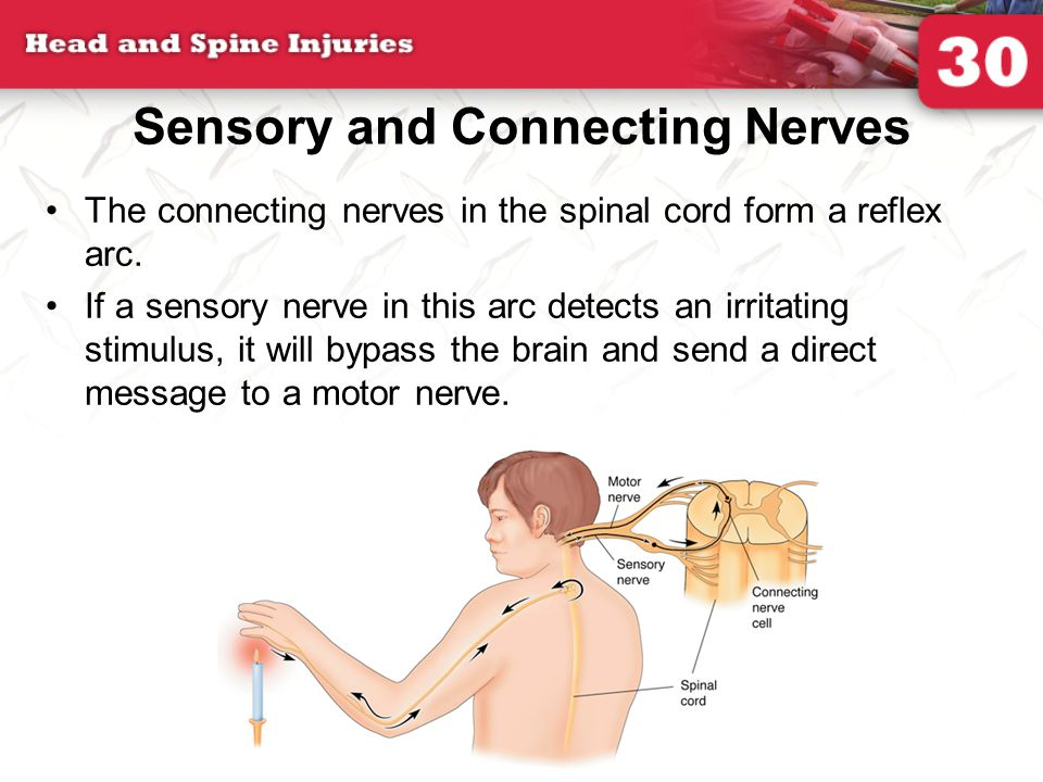 Sensory and Connecting Nerves The connecting nerves in the spinal cord form a reflex arc.