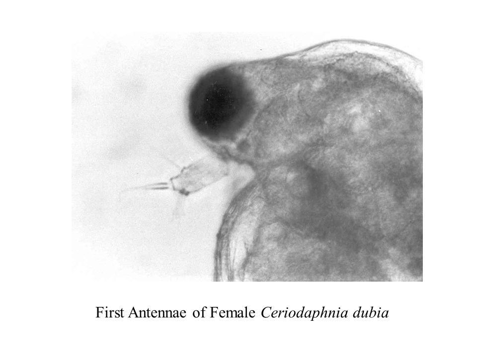 First Antennae of Female Ceriodaphnia dubia