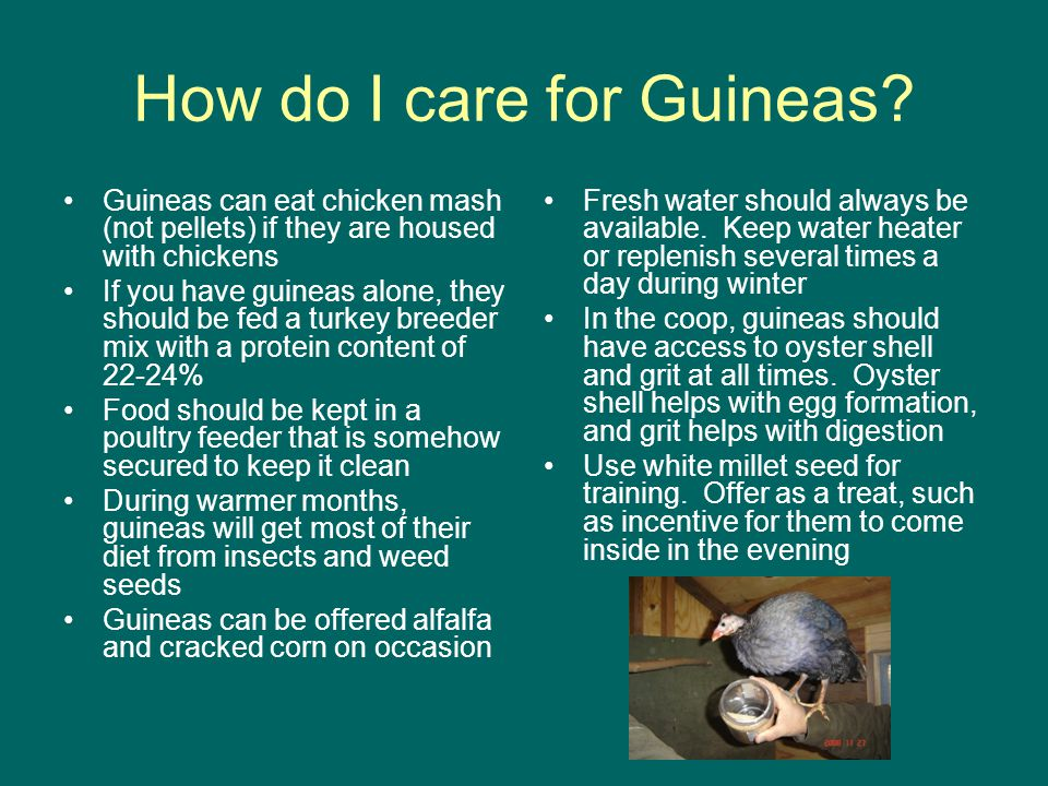 How do I care for Guineas.