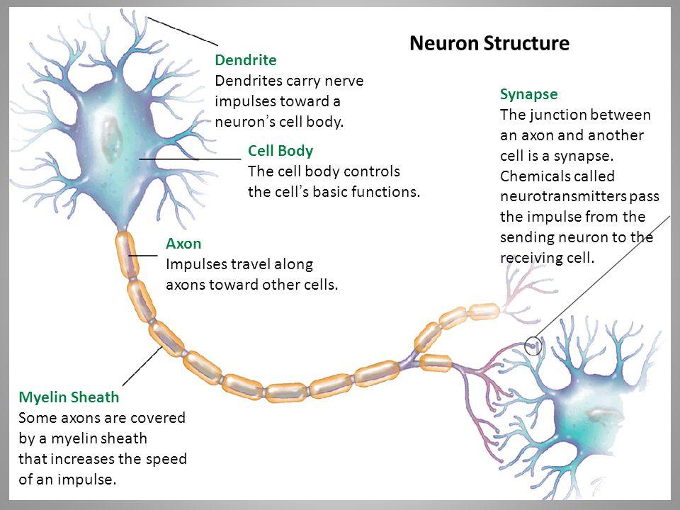 Neuron Structure Dendrite Dendrites carry nerve impulses toward a neuron ' s cell body.
