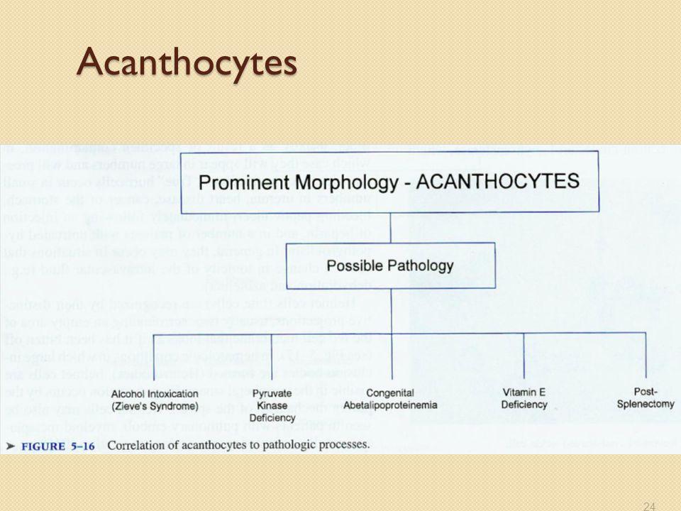 Acanthocytes 24