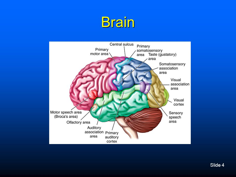 Slide 5 Layers of the Brain