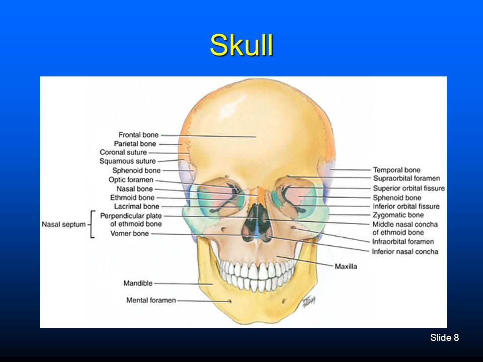 Slide 8 Skull