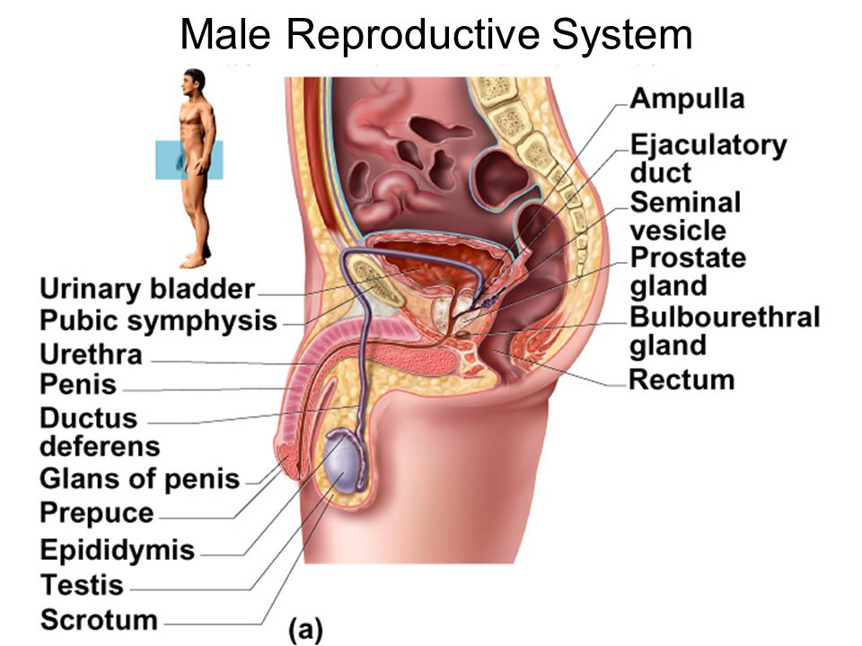 Uterine Wall Uterine Wall is composed of three layers –Perimetrium – outermost serous layer; the visceral peritoneum –Myometrium – middle layer; interlacing layers of smooth muscle –Endometrium – mucosal lining of the uterine cavity changes in thickness during the menstrual cycle