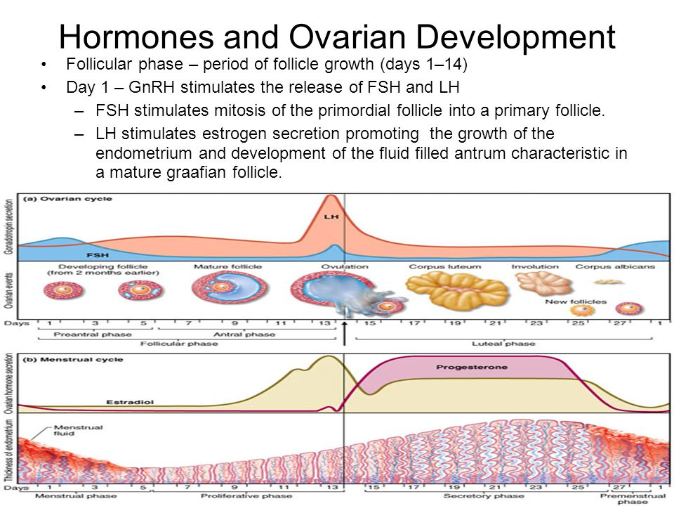 Hormones and Ovarian Development Follicular phase – period of follicle growth (days 1–14) Day 1 – GnRH stimulates the release of FSH and LH –FSH stimu