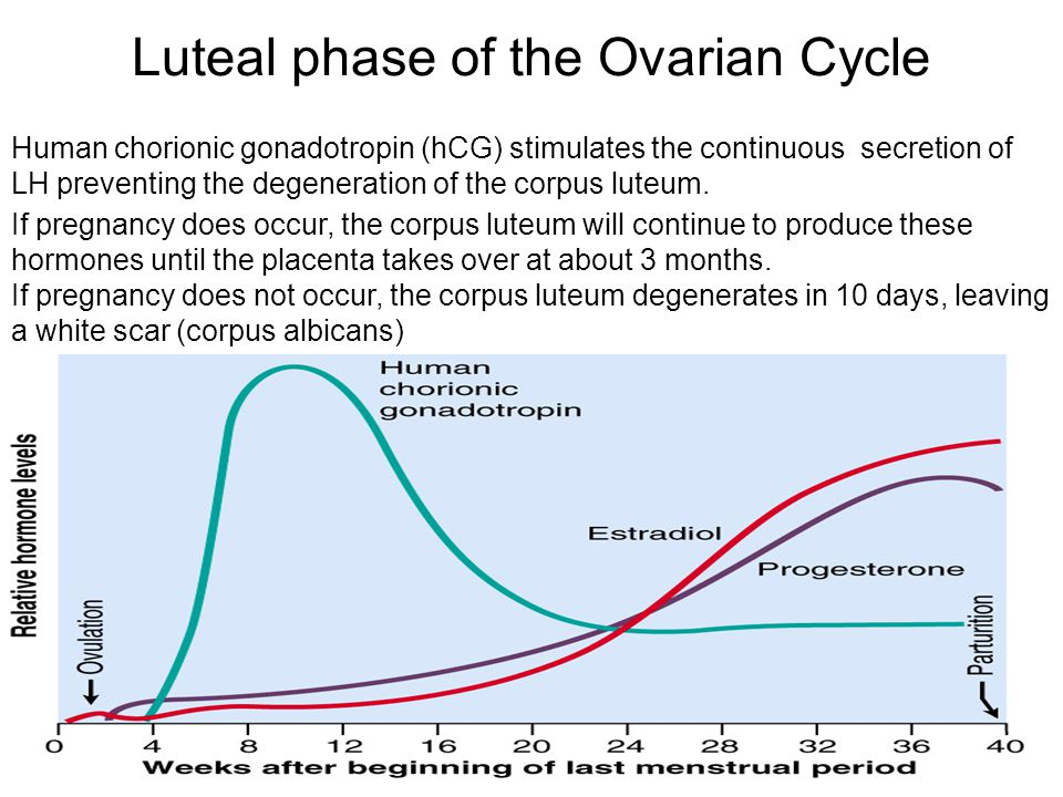 Luteal phase of the Ovarian Cycle Human chorionic gonadotropin (hCG) stimulates the continuous secretion of LH preventing the degeneration of the corp