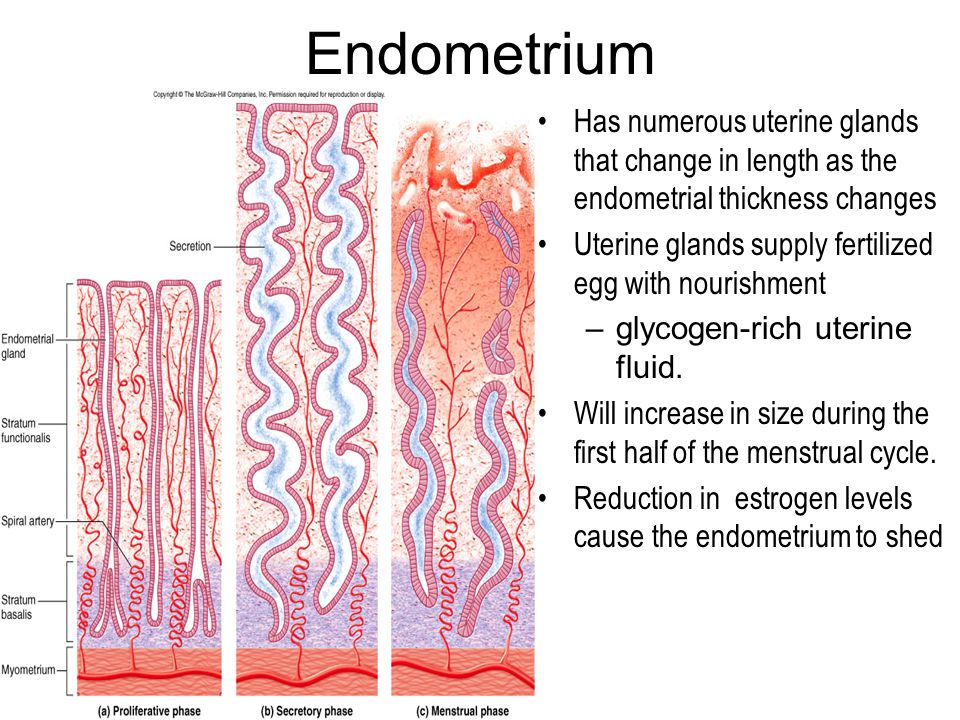 Endometrium Has numerous uterine glands that change in length as the endometrial thickness changes Uterine glands supply fertilized egg with nourishme