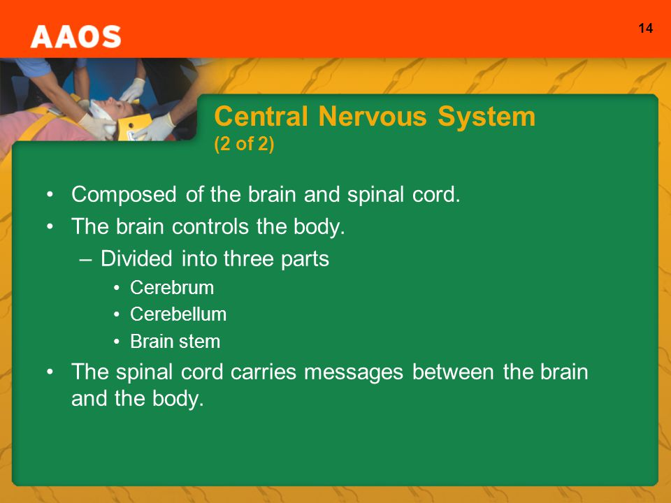 14 Central Nervous System (2 of 2) Composed of the brain and spinal cord.
