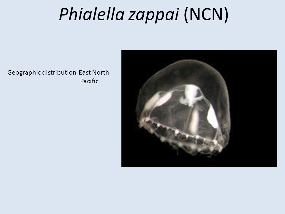 Phyllorhiza punctata (White-spotted jellyfish) Biogeographic Regions: Australia, Hawaii, Caribbean, Gulf of Mexico (introduced) Habitat Regions: Tropical, saltwater, estuarine, harbors, bays