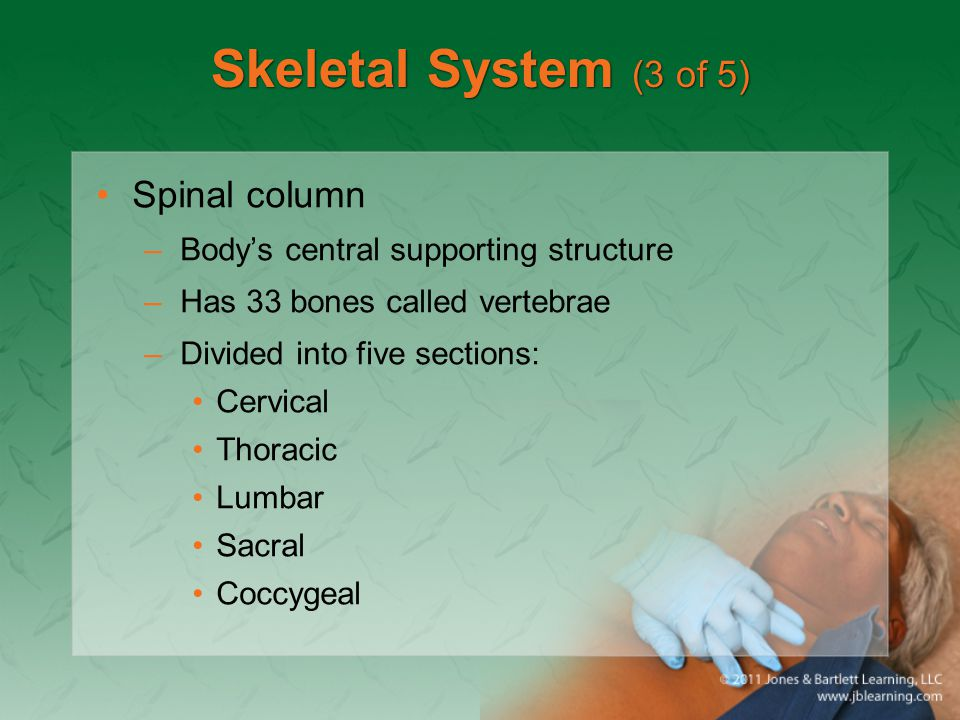 Skeletal System (3 of 5) Spinal column –Body's central supporting structure –Has 33 bones called vertebrae –Divided into five sections: Cervical Thora