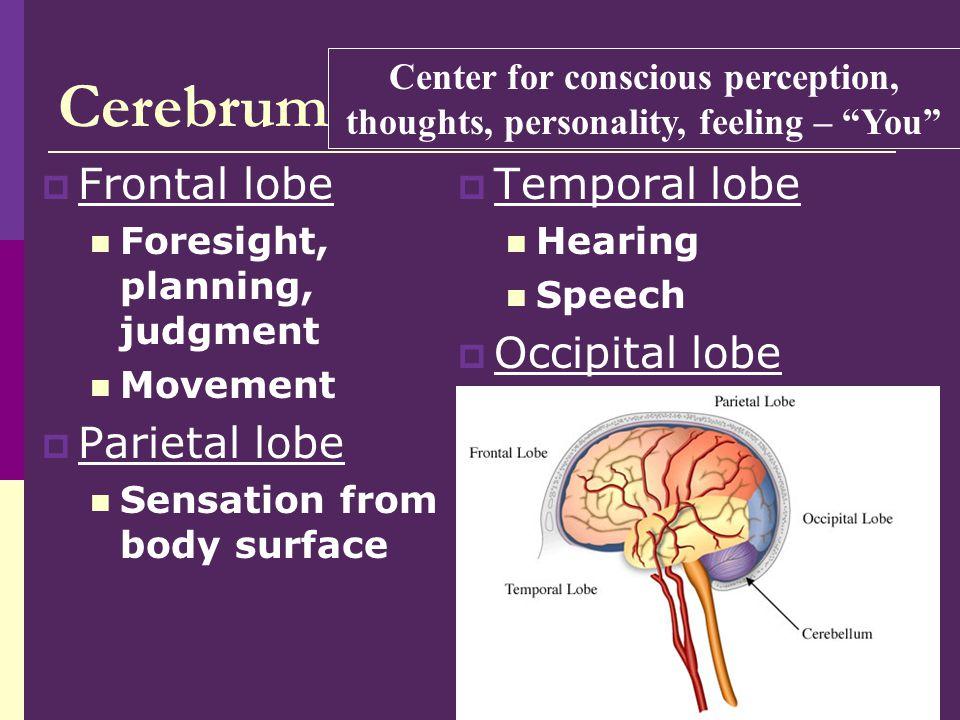 6 Cerebrum Left side of cerebrum Right side of cerebrum Sensory, motor functions of body's left side Sensory, motor functions of body's right side