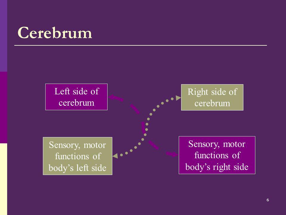 7 Cerebellum  Posture  Balance  Equilibrium  Fine motor skills