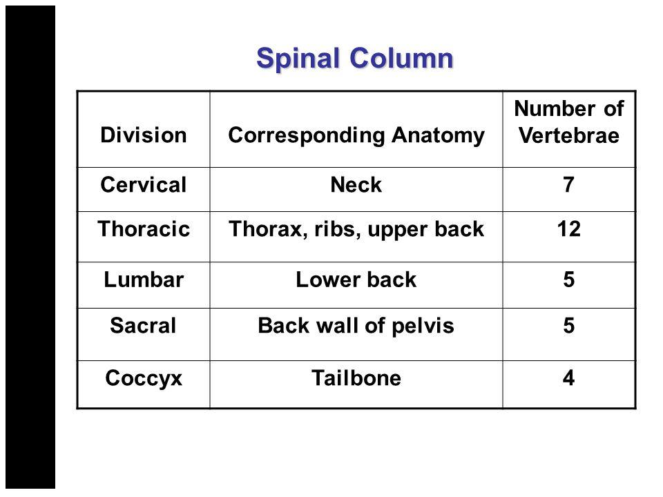Spinal Column DivisionCorresponding Anatomy Number of Vertebrae CervicalNeck7 ThoracicThorax, ribs, upper back12 LumbarLower back5 SacralBack wall of