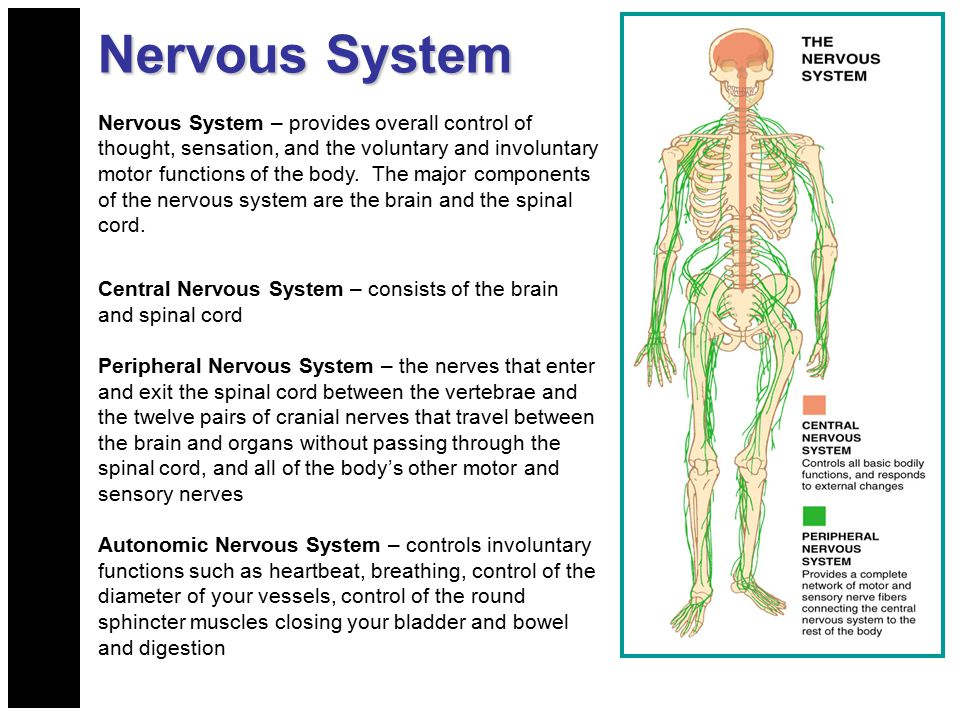 Nervous System Nervous System – provides overall control of thought, sensation, and the voluntary and involuntary motor functions of the body. The maj