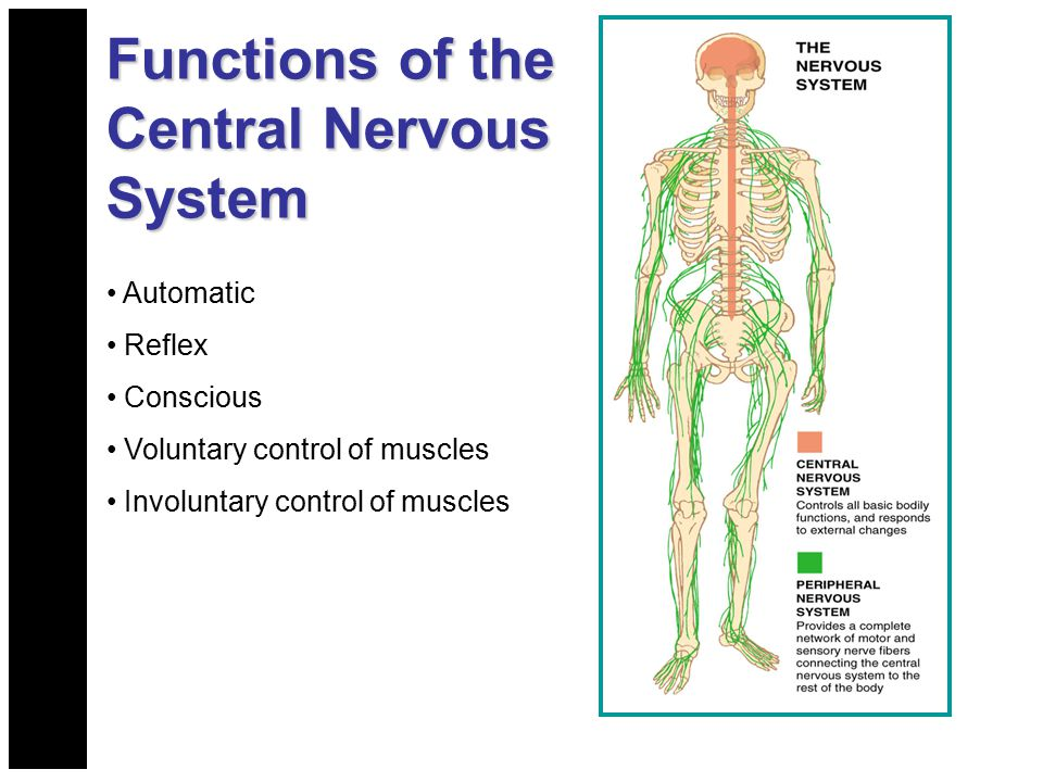 Functions of the Central Nervous System Automatic Reflex Conscious Voluntary control of muscles Involuntary control of muscles