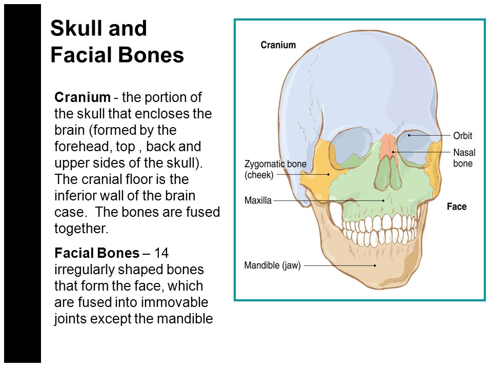 Skull and Facial Bones CRANIUM FACE Zygomatic (cheek bones) Maxilla (fused bones of the Upper jaw) Mandible (lower jaw bone) Orbit Nasal bones (Surrounds the eyes) (Provides some structure of nose) Cranium (houses and protects the brain) Skull (houses and protects the brain; consists of the cranium and the face)