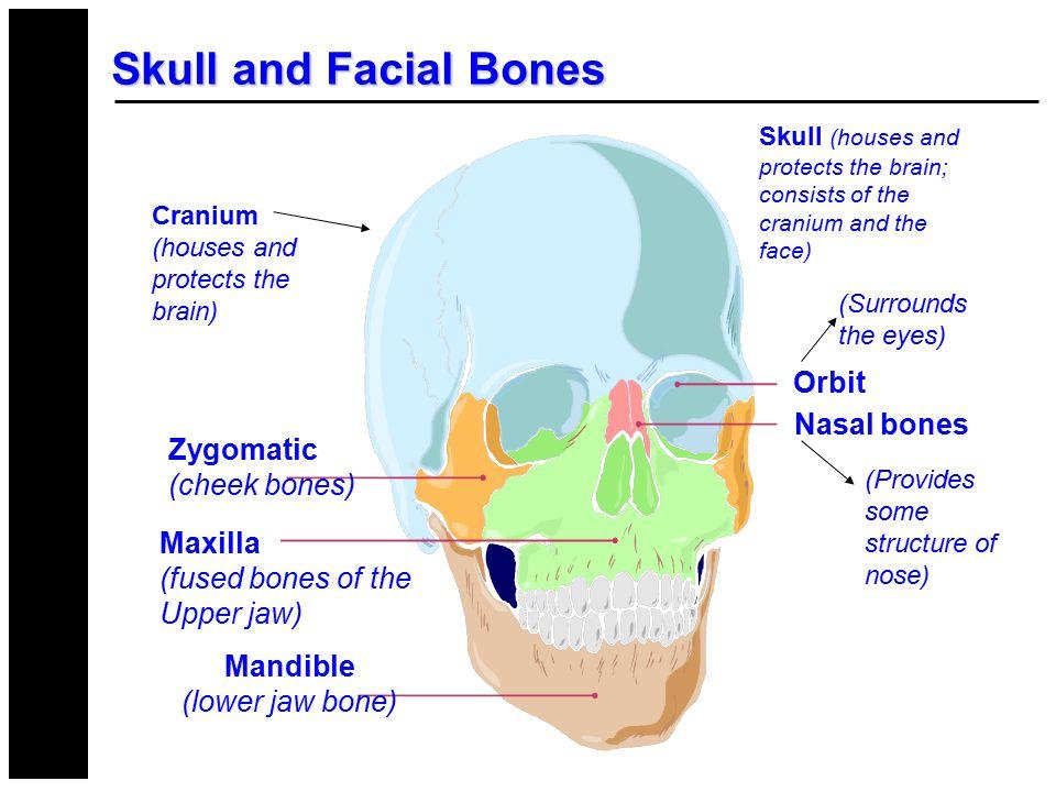 Skull and Facial Bones CRANIUM FACE Zygomatic (cheek bones) Maxilla (fused bones of the Upper jaw) Mandible (lower jaw bone) Orbit Nasal bones (Surrou