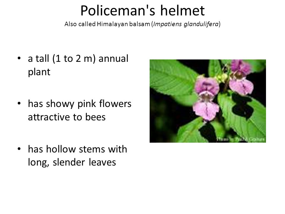 Policeman's helmet Also called Himalayan balsam (Impatiens glandulifera) a tall (1 to 2 m) annual plant has showy pink flowers attractive to bees has
