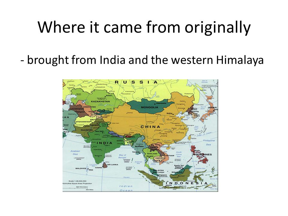 Where it came from originally - brought from India and the western Himalaya