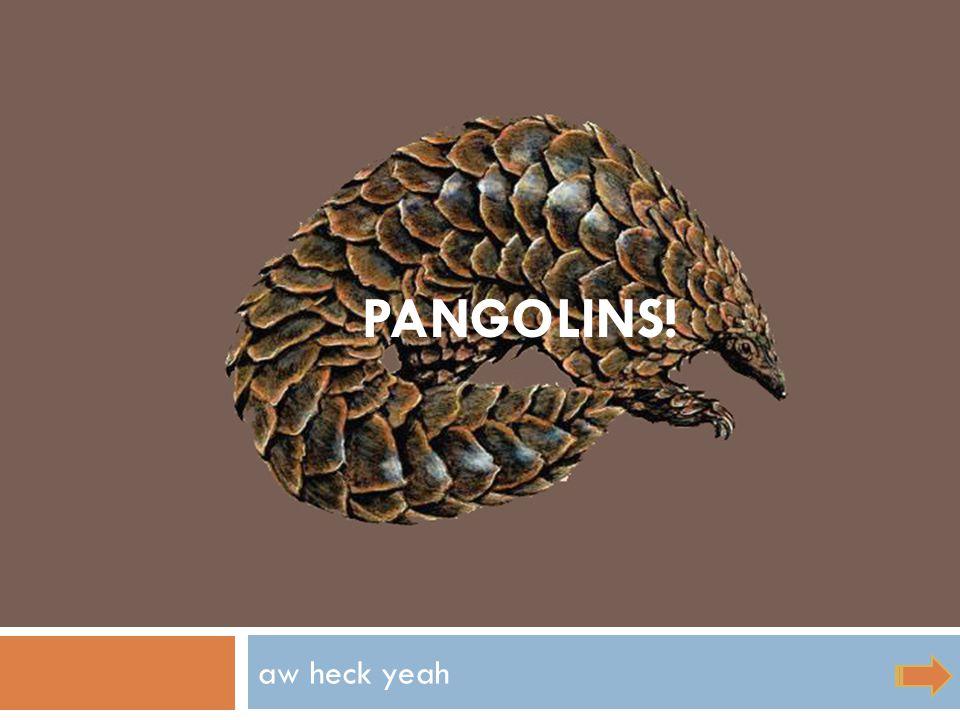 aw heck yeah PANGOLINS!