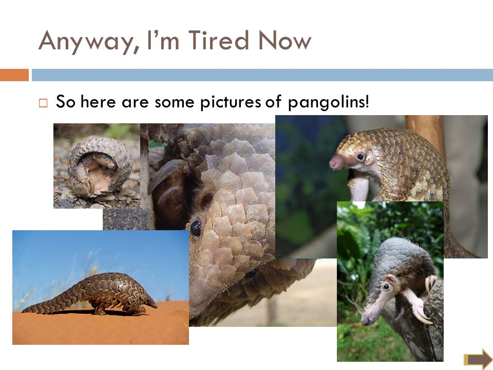 Anyway, I'm Tired Now  So here are some pictures of pangolins!
