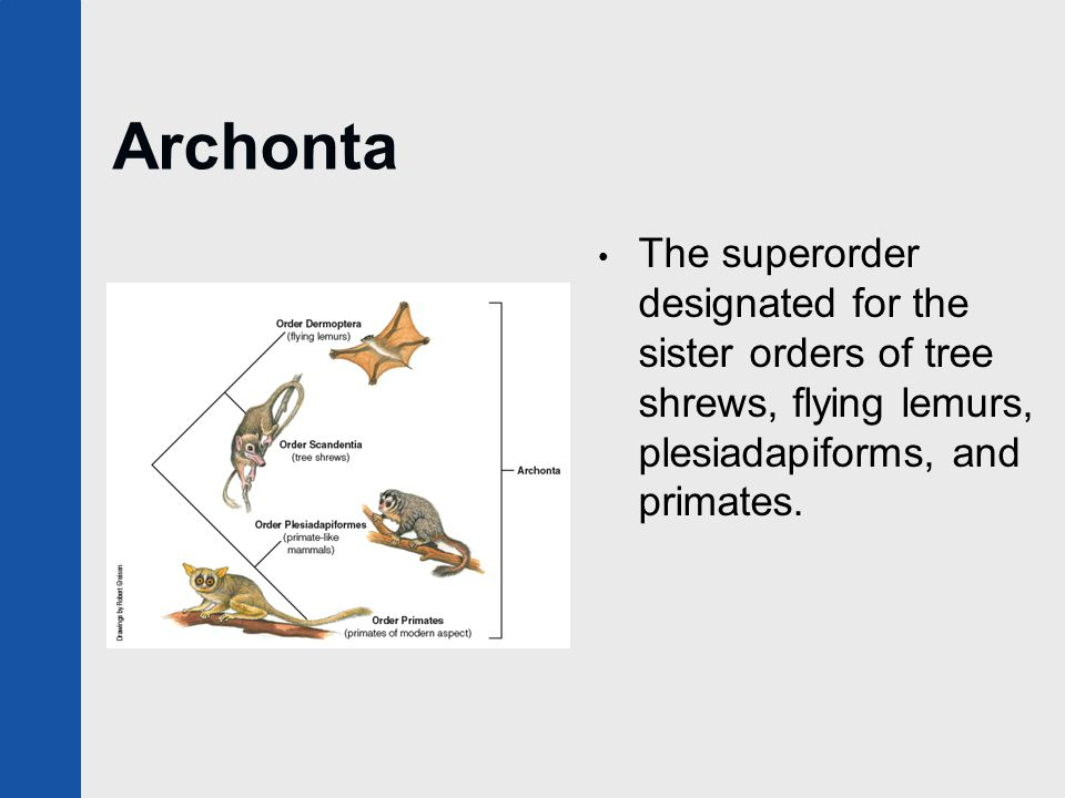 Archonta The superorder designated for the sister orders of tree shrews, flying lemurs, plesiadapiforms, and primates.