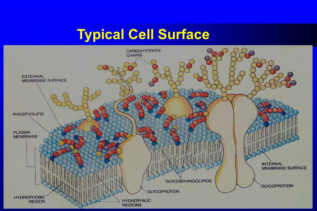 Typical Cell Surface