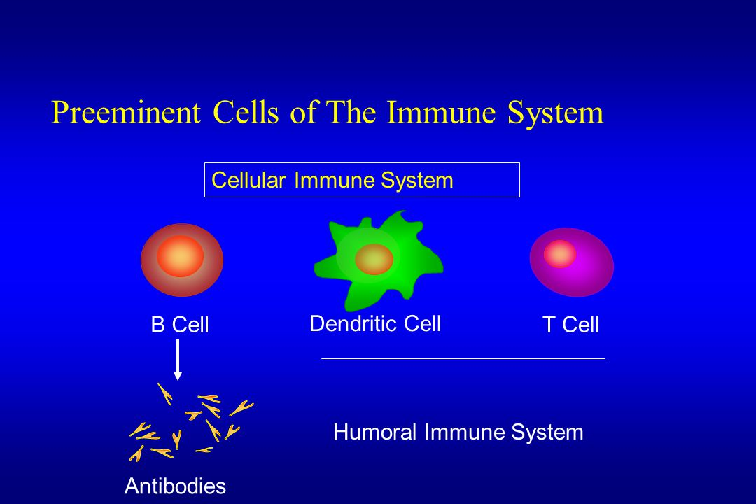 B Cell Preeminent Cells of The Immune System T Cell Dendritic Cell Antibodies Humoral Immune System Cellular Immune System