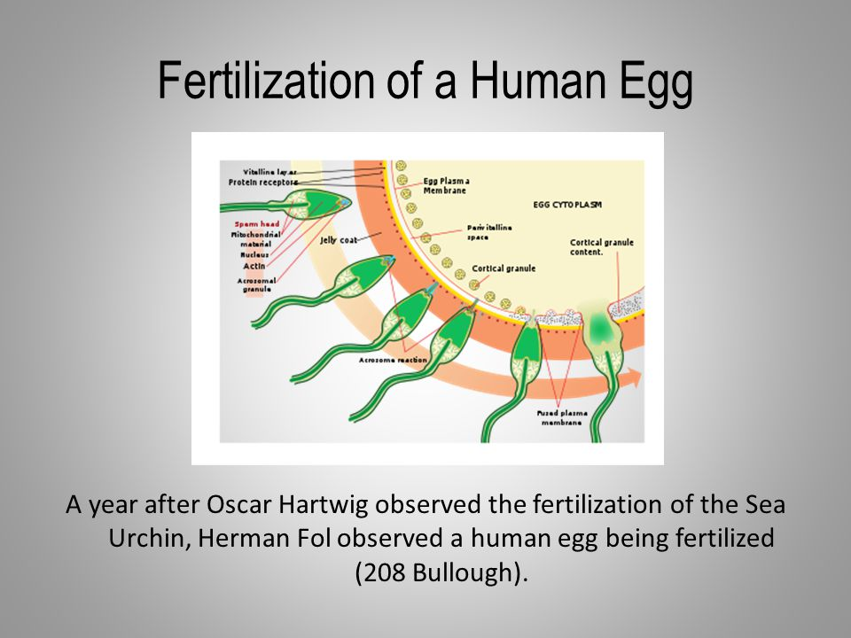 Fertilization of a Human Egg A year after Oscar Hartwig observed the fertilization of the Sea Urchin, Herman Fol observed a human egg being fertilized (208 Bullough).