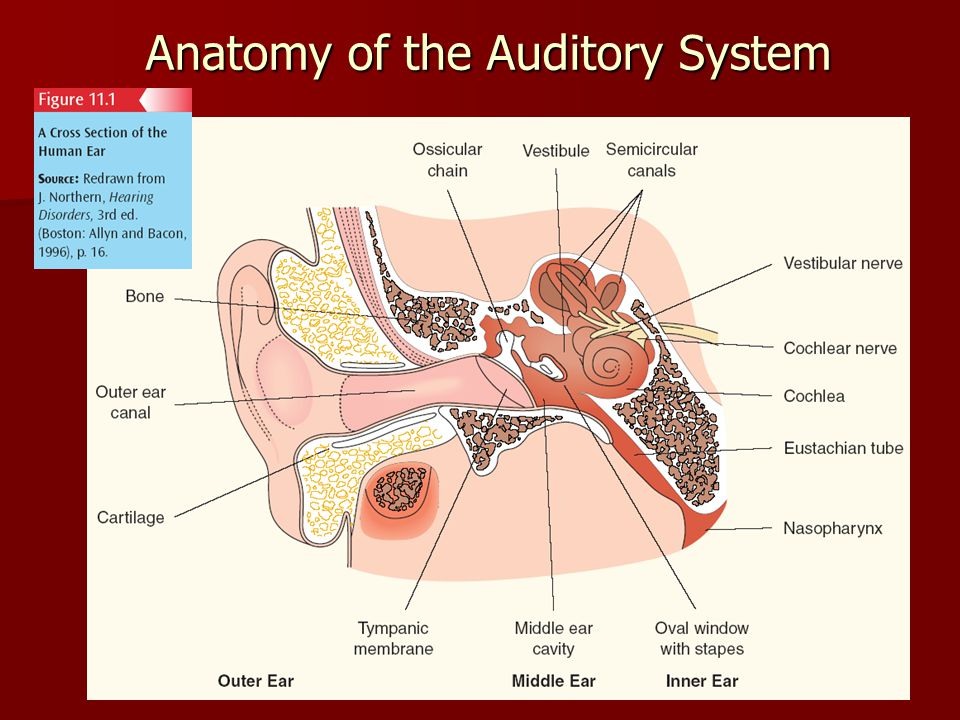 3 Anatomy of the Auditory System