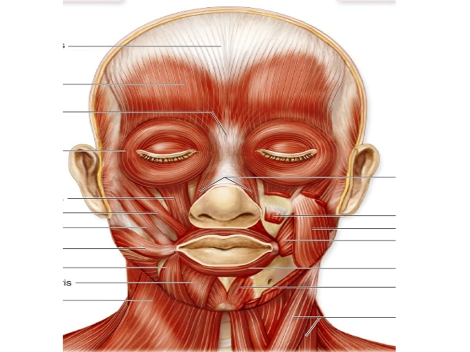Muscles of the Anterior Neck Muscles of the anterior neck are divided into the suprahyoid and infrahyoid muscles.