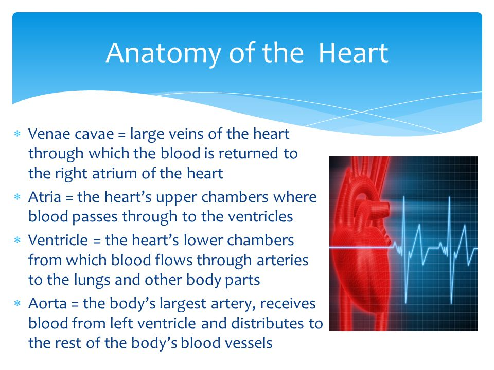  Venae cavae = large veins of the heart through which the blood is returned to the right atrium of the heart  Atria = the heart's upper chambers whe