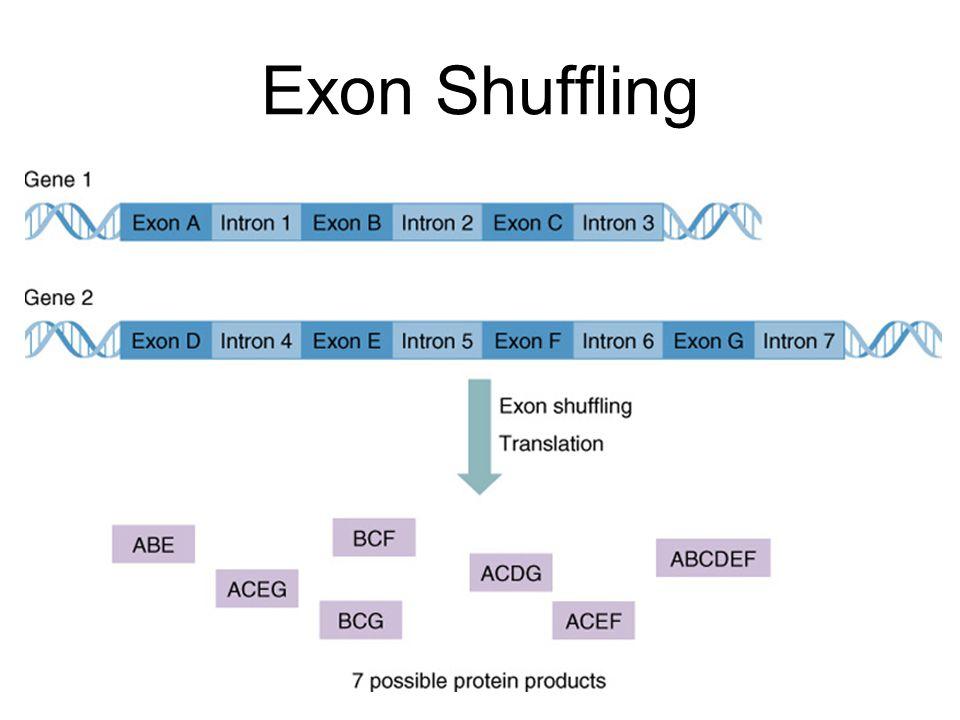 Exon Shuffling