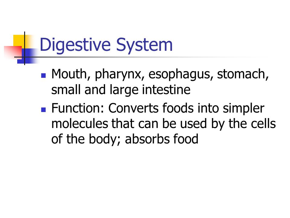 Digestive System Mouth, pharynx, esophagus, stomach, small and large intestine Function: Converts foods into simpler molecules that can be used by the cells of the body; absorbs food