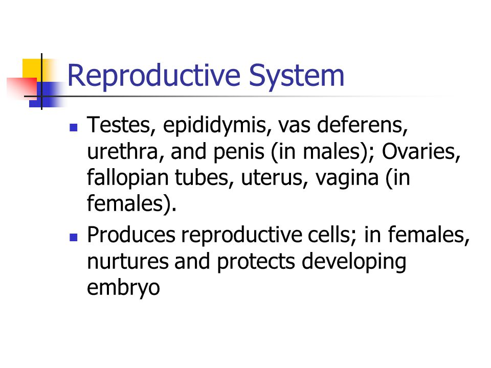 Reproductive System Testes, epididymis, vas deferens, urethra, and penis (in males); Ovaries, fallopian tubes, uterus, vagina (in females).