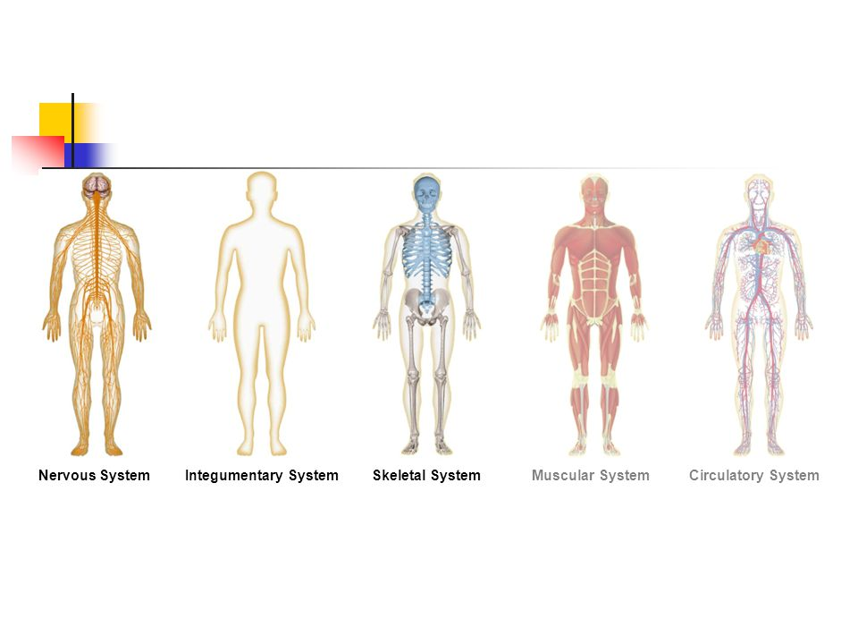 Nervous SystemIntegumentary SystemSkeletal SystemMuscular SystemCirculatory System Section 35-1 Figure 35-2 Human Organ Systems Part I