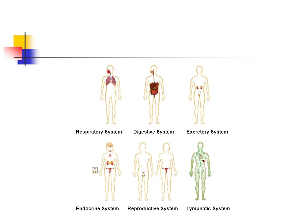 Respiratory SystemDigestive SystemExcretory System Endocrine SystemReproductive SystemLymphatic System Section 35-1 Figure 35-2 Human Organ Systems Part 2