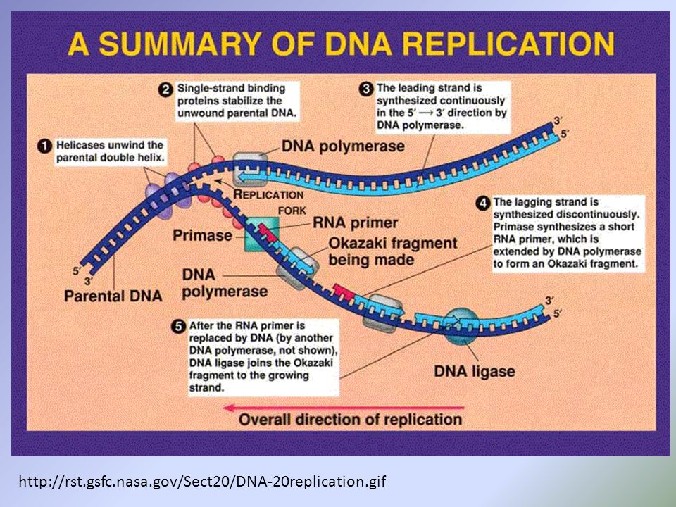 http://rst.gsfc.nasa.gov/Sect20/DNA-20replication.gif