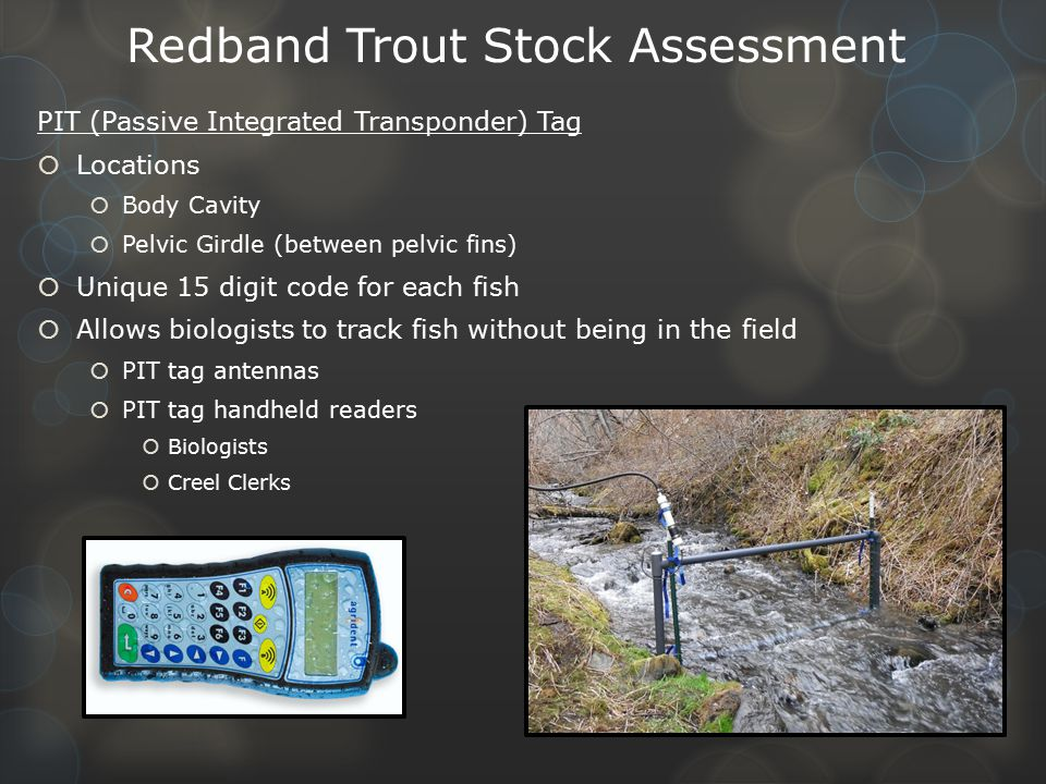 Redband Trout Stock Assessment PIT (Passive Integrated Transponder) Tag  Locations  Body Cavity  Pelvic Girdle (between pelvic fins)  Unique 15 digit code for each fish  Allows biologists to track fish without being in the field  PIT tag antennas  PIT tag handheld readers  Biologists  Creel Clerks