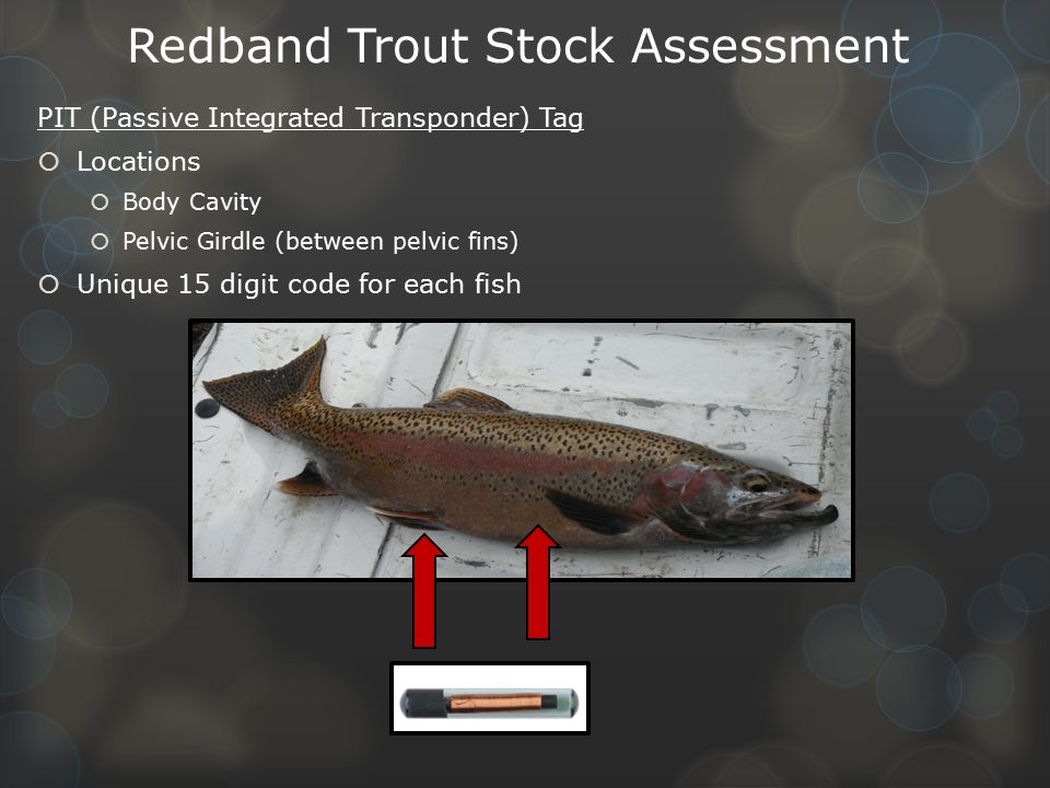 Redband Trout Stock Assessment PIT (Passive Integrated Transponder) Tag  Locations  Body Cavity  Pelvic Girdle (between pelvic fins)  Unique 15 digit code for each fish
