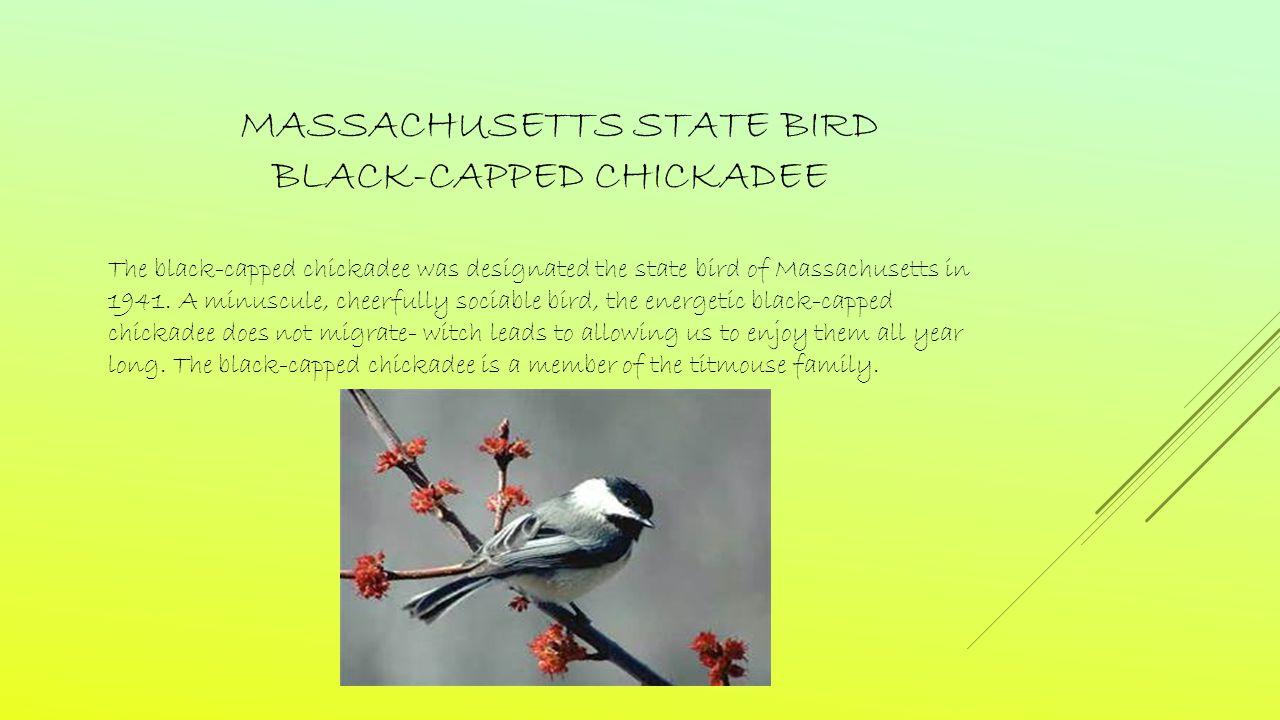 MASSACHUSETTS STATE BIRD BLACK-CAPPED CHICKADEE The black-capped chickadee was designated the state bird of Massachusetts in 1941.